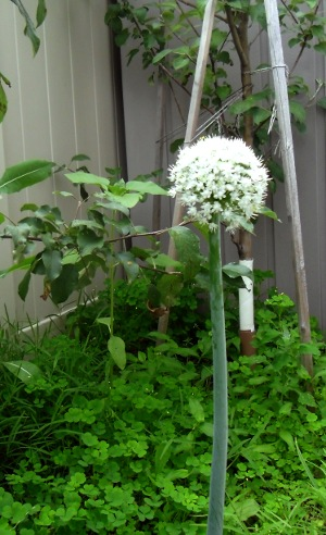 A flowering onion stem: a single umbel atop a tall, leafless scape.